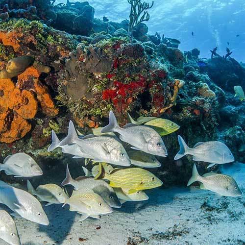 Дайвинг на рифах Плайя дель Кармен