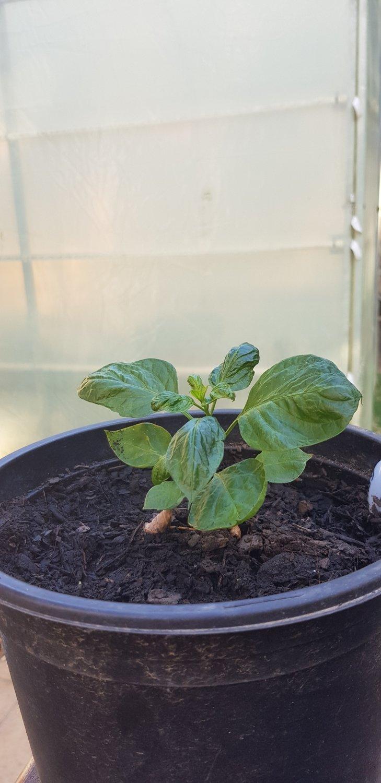 Bhut Jolokia Plant (Ghost Chilli)