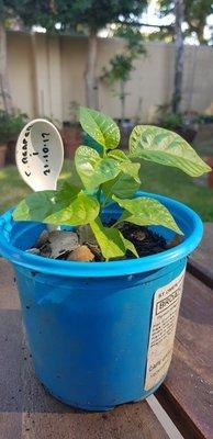 Carolina Reaper plant