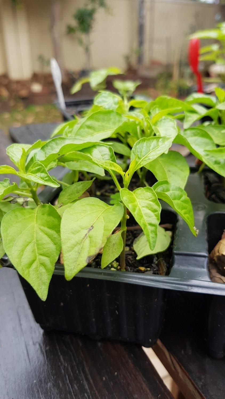 Habanero Plants