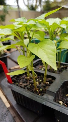 Mixed Baby Sweet Pepper Plants