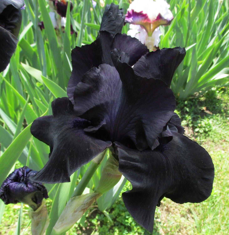 Black Suited