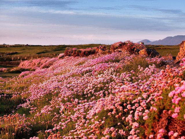 Irish Heatherson the Dingle Peninsula