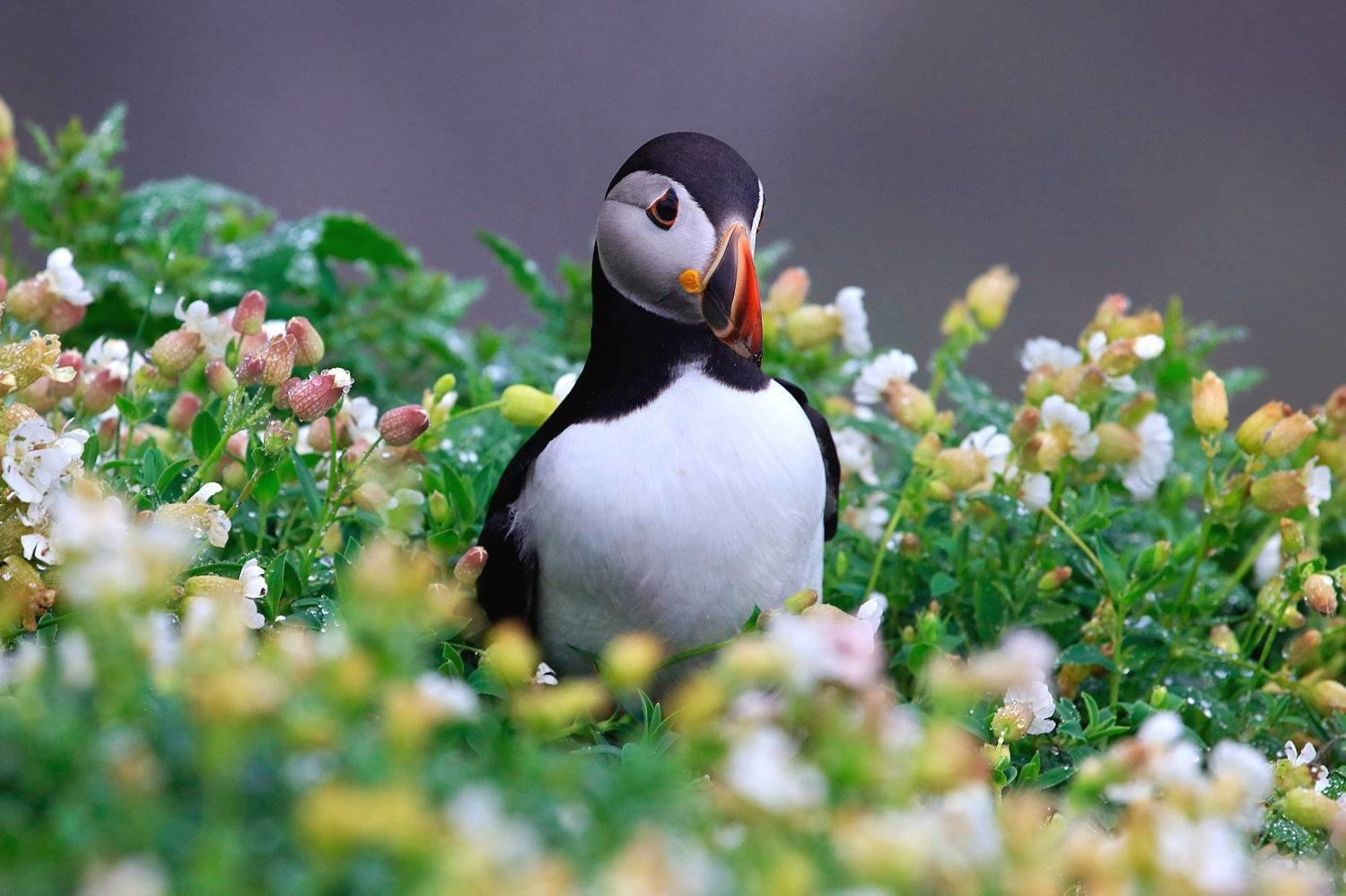 Puffin on the Skellig Michael