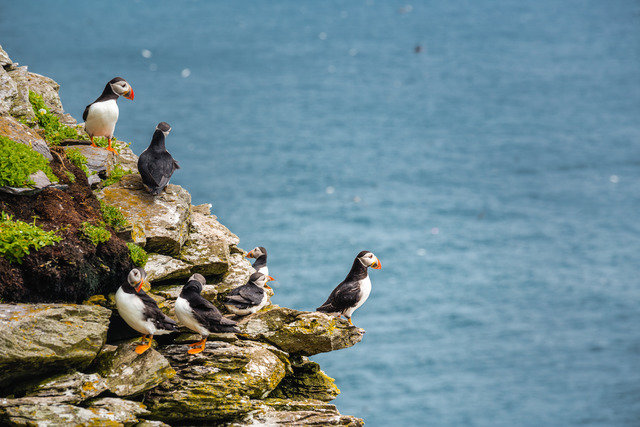 Puffins on the Skellig Rock