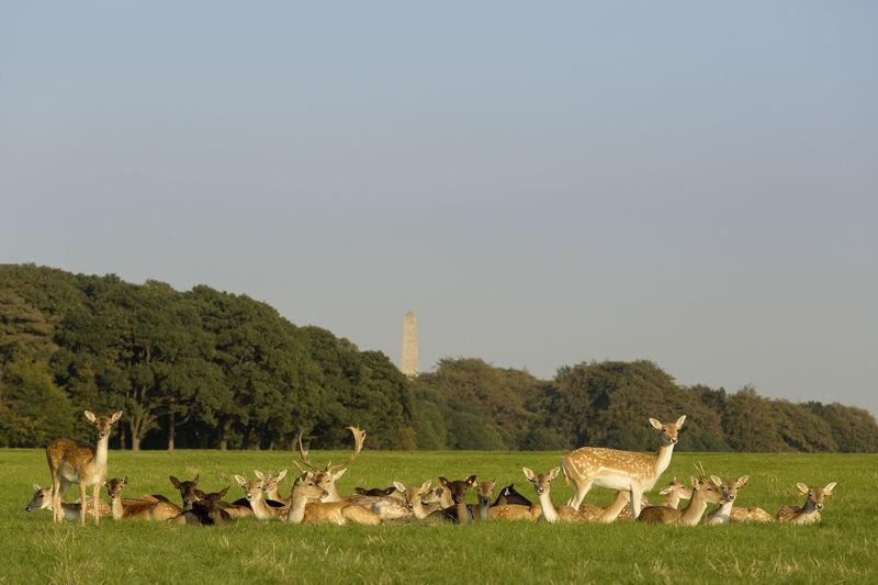 Irish Red Deer.