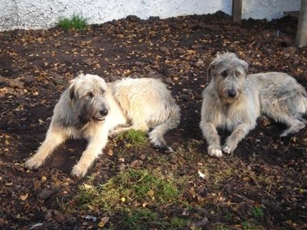 Irish Wolf Hounds in Kerry