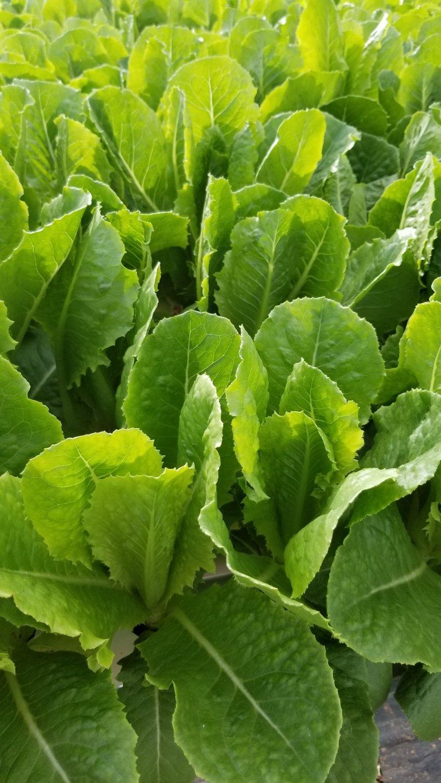 Romain lettuce PR. X lb