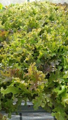 Lettuce mezclum. X lb