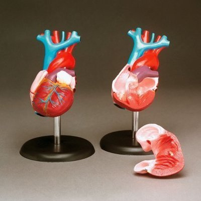 Budget Life-Size Heart Model