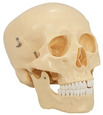 Life-Size Skull Anatomy Model