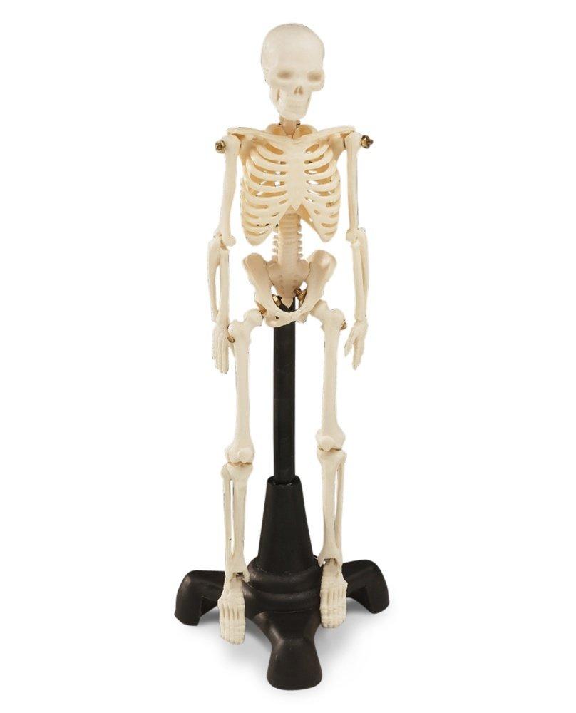 Petite Pete Skeleton Anatomy Model