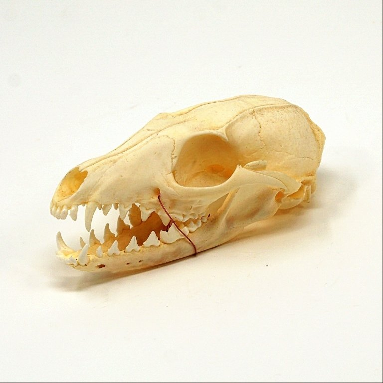 Grey Fox Skull SG170109