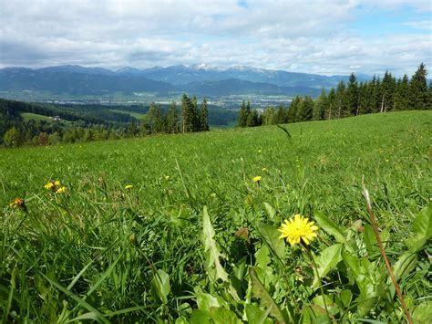 Sweet Meadow Grass