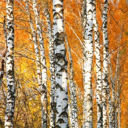 Mountain Birch