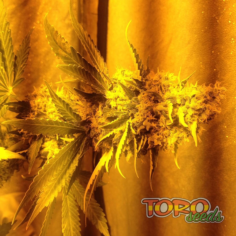 Фото феминизированной марихуаны