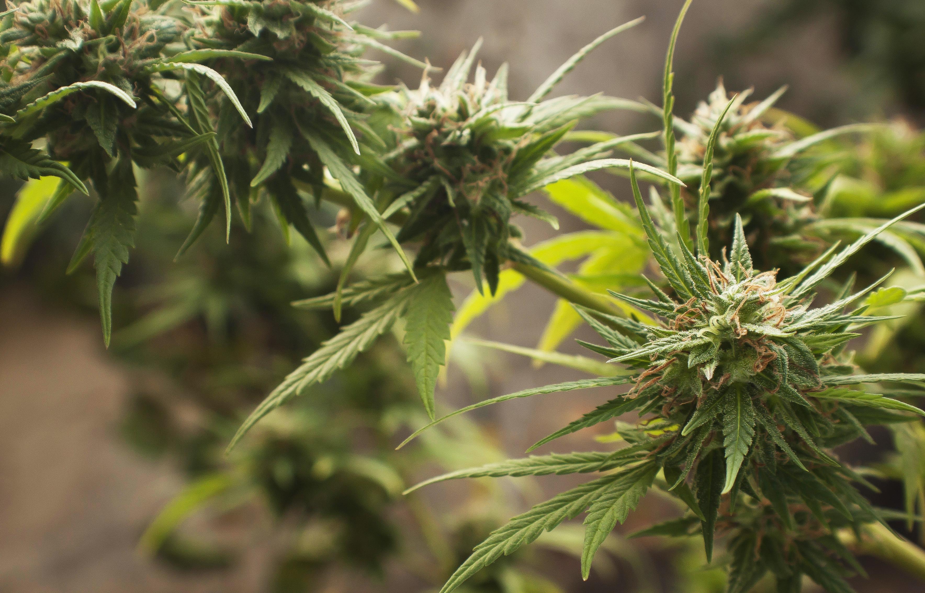 Азиатская конопля дискавери марихуана в законе