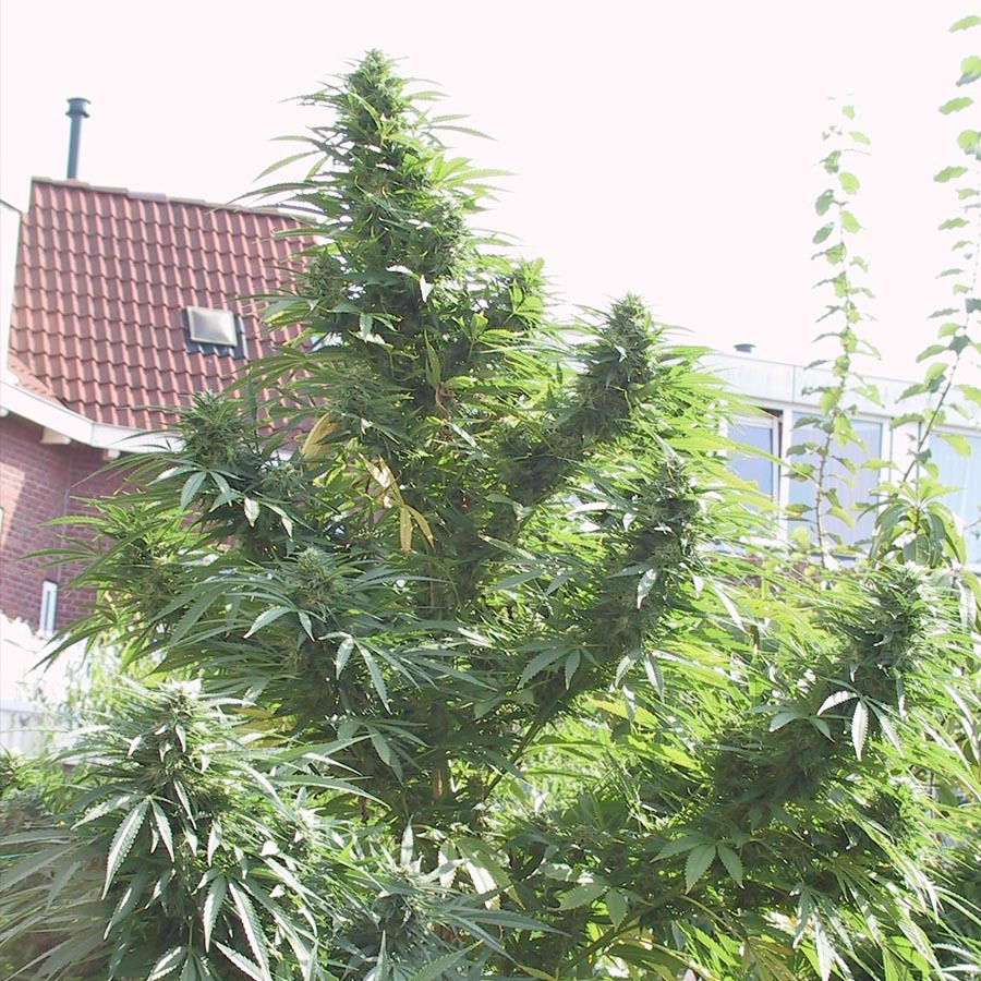 Для открытого грунта семена марихуаны сердце вред конопли