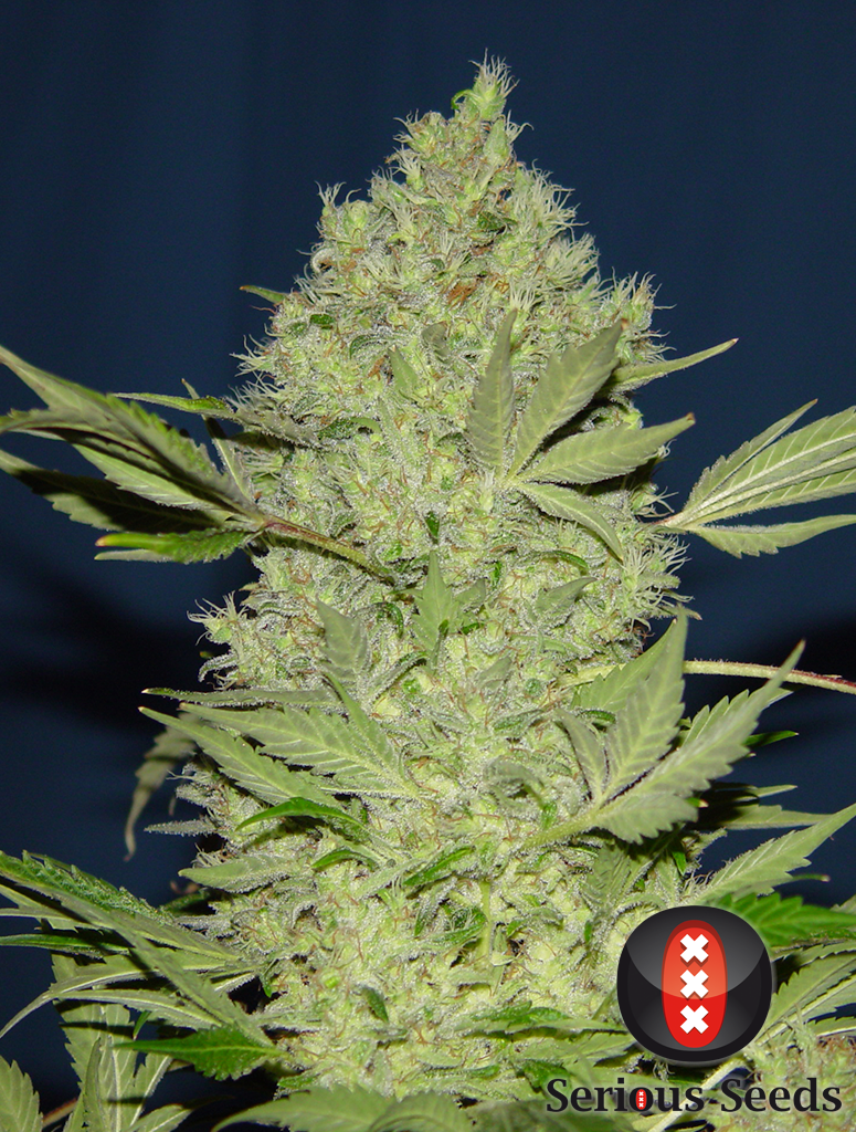 Seedbanda семена конопляные фото девушки марихуаны