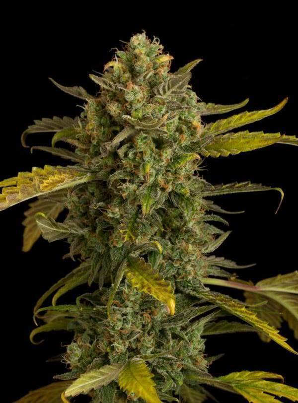 Автоцветущий сорт марихуаны марихуана вырастить новичок