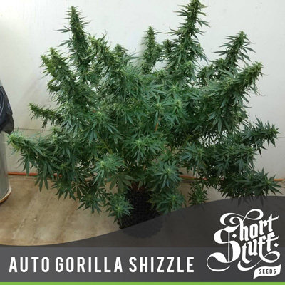 Short Stuff Seeds - Auto Gorilla Shizzle (auto/fem.)