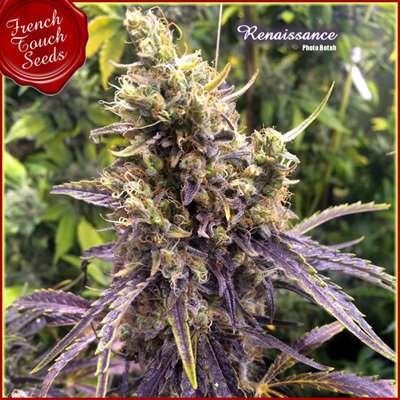 French Touch Seeds - Renaissance
