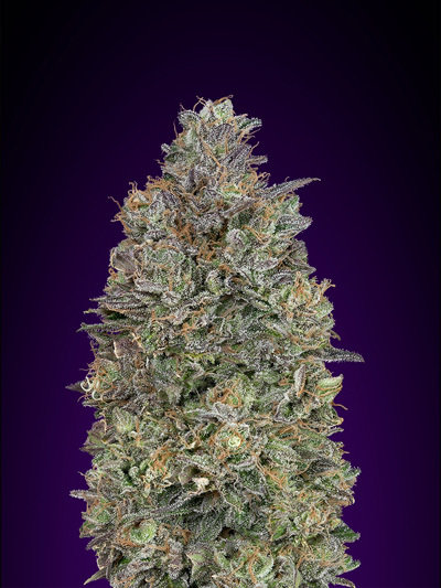 Advanced Seeds - Critical Purple Kush (fem.)