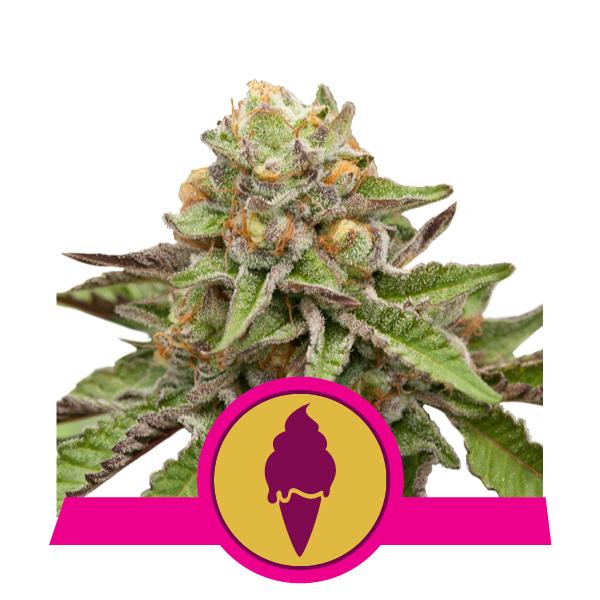 Royal Queen Seeds - Green Gelato (fem.)