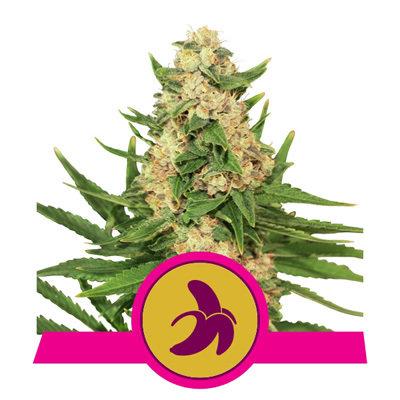 Royal Queen Seeds - Fat Banana (fem.)