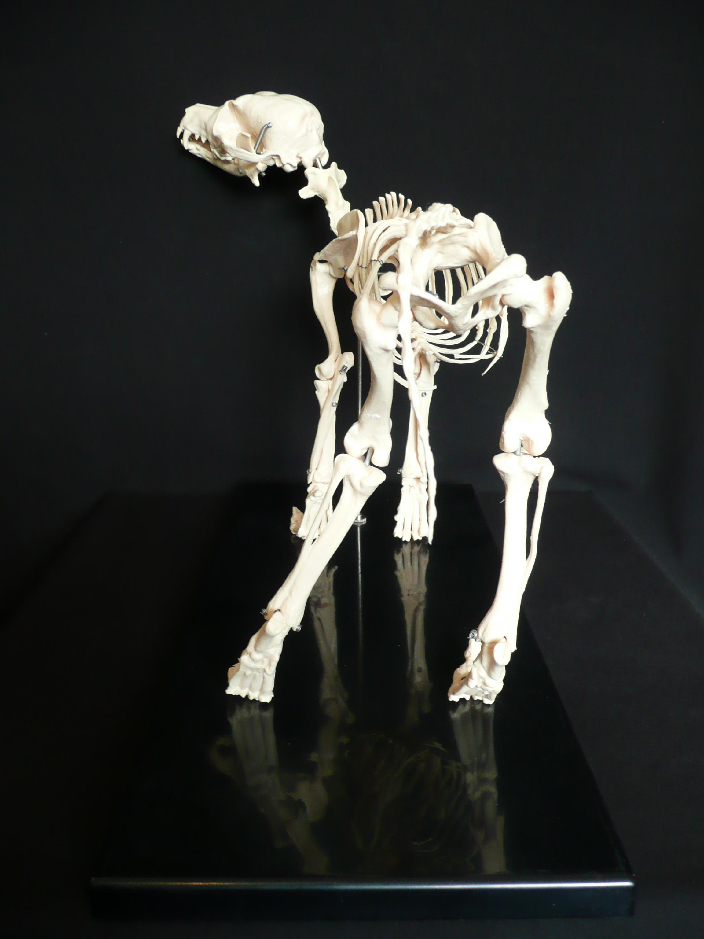 Anatomical Canine/Dog Skeleton Model | Animal Models – Store ...