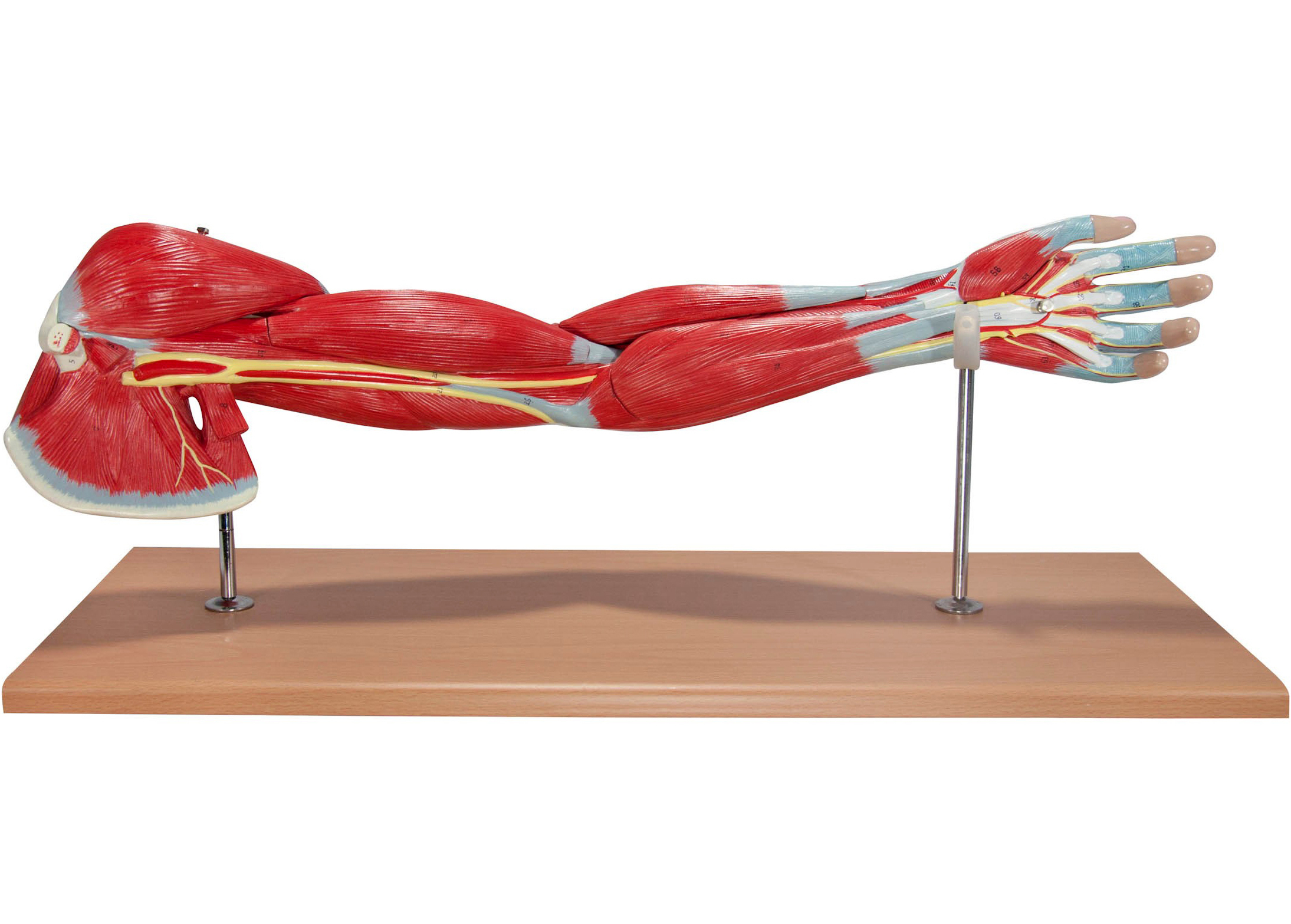 Life-Size Anatomical Human Arm Muscle Model | Muscle Models – Store ...