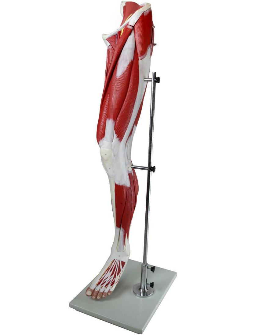 Life-Size Anatomical Human Leg Muscle Model | Torso and Muscle ...