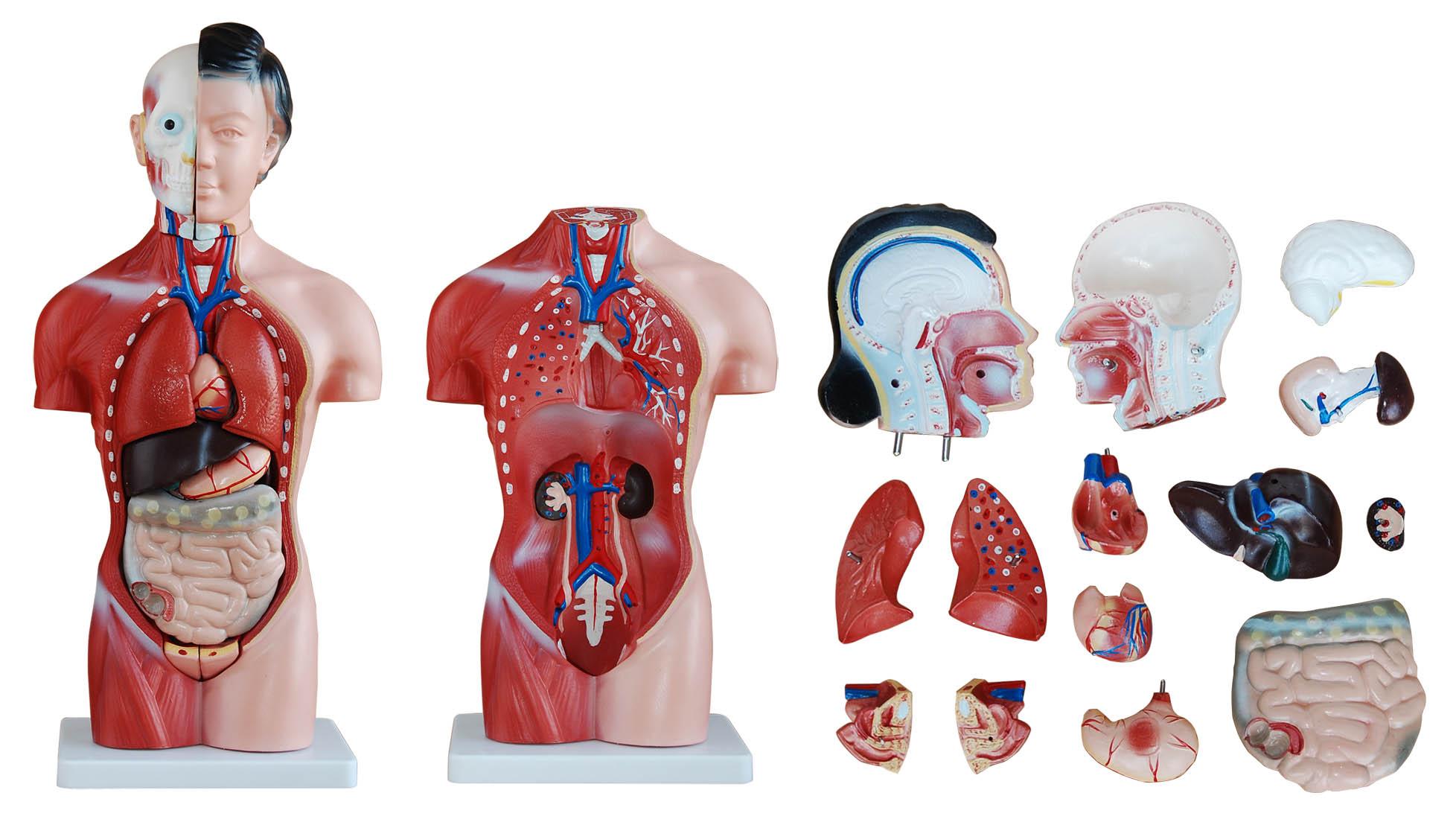 42cm Tall Human Anatomical Female Torso Model | Torso Models – Store ...