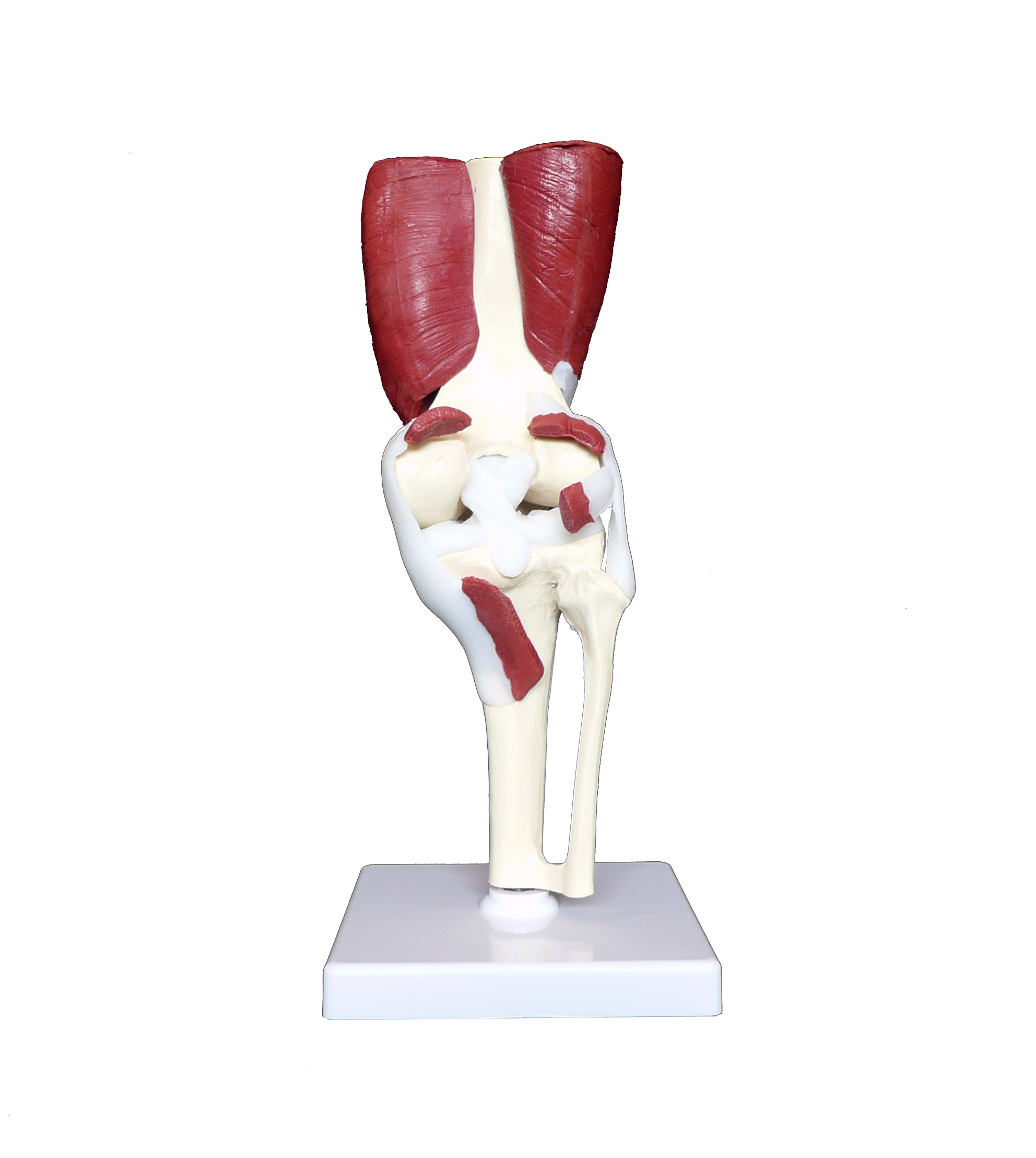 Anatomical human advanced knee joint muscle model joint models anatomical human advanced knee joint muscle model 00139 ccuart Images