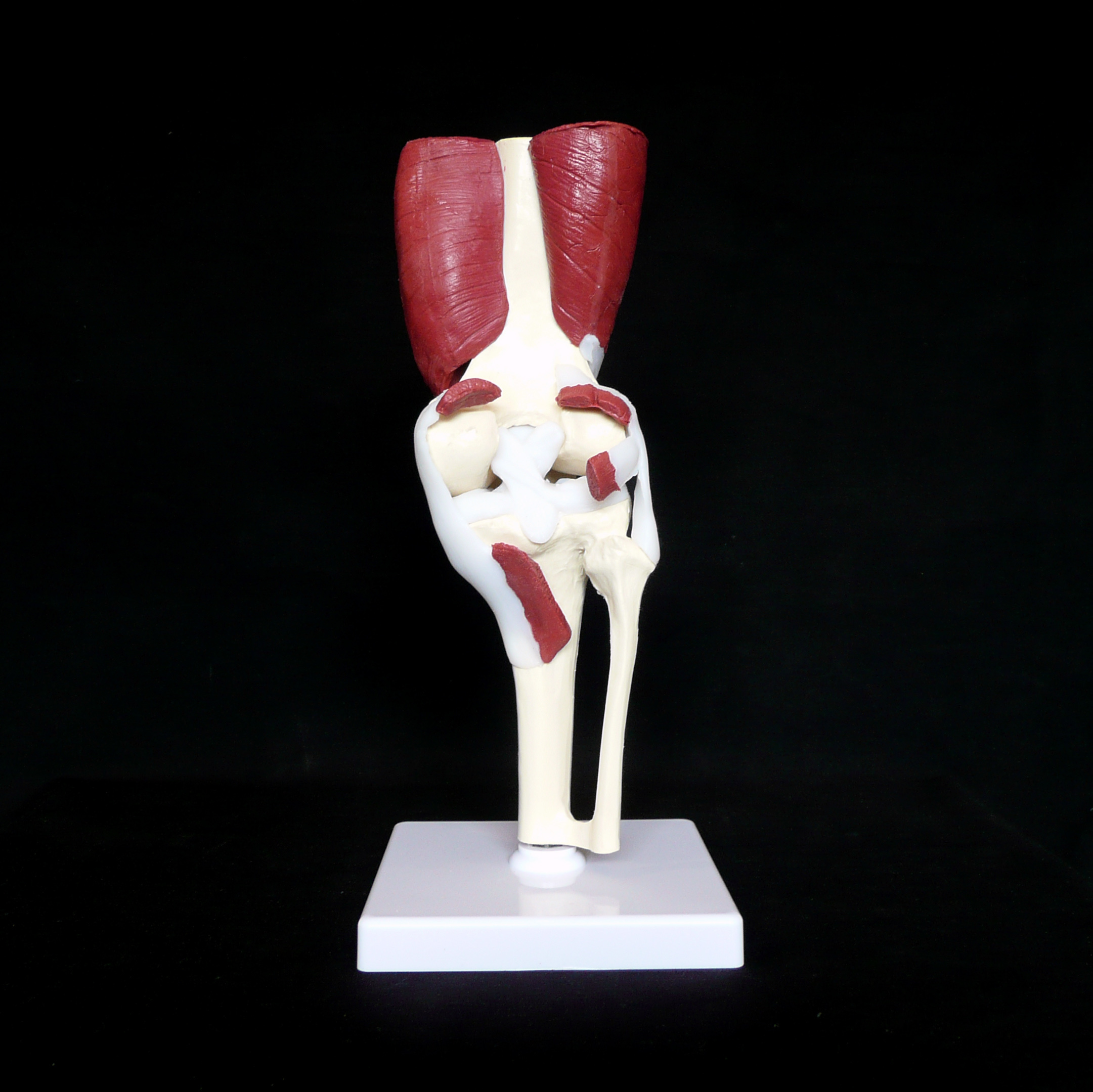 Anatomical Human Advanced Knee Joint Muscle Model | Joint Models ...