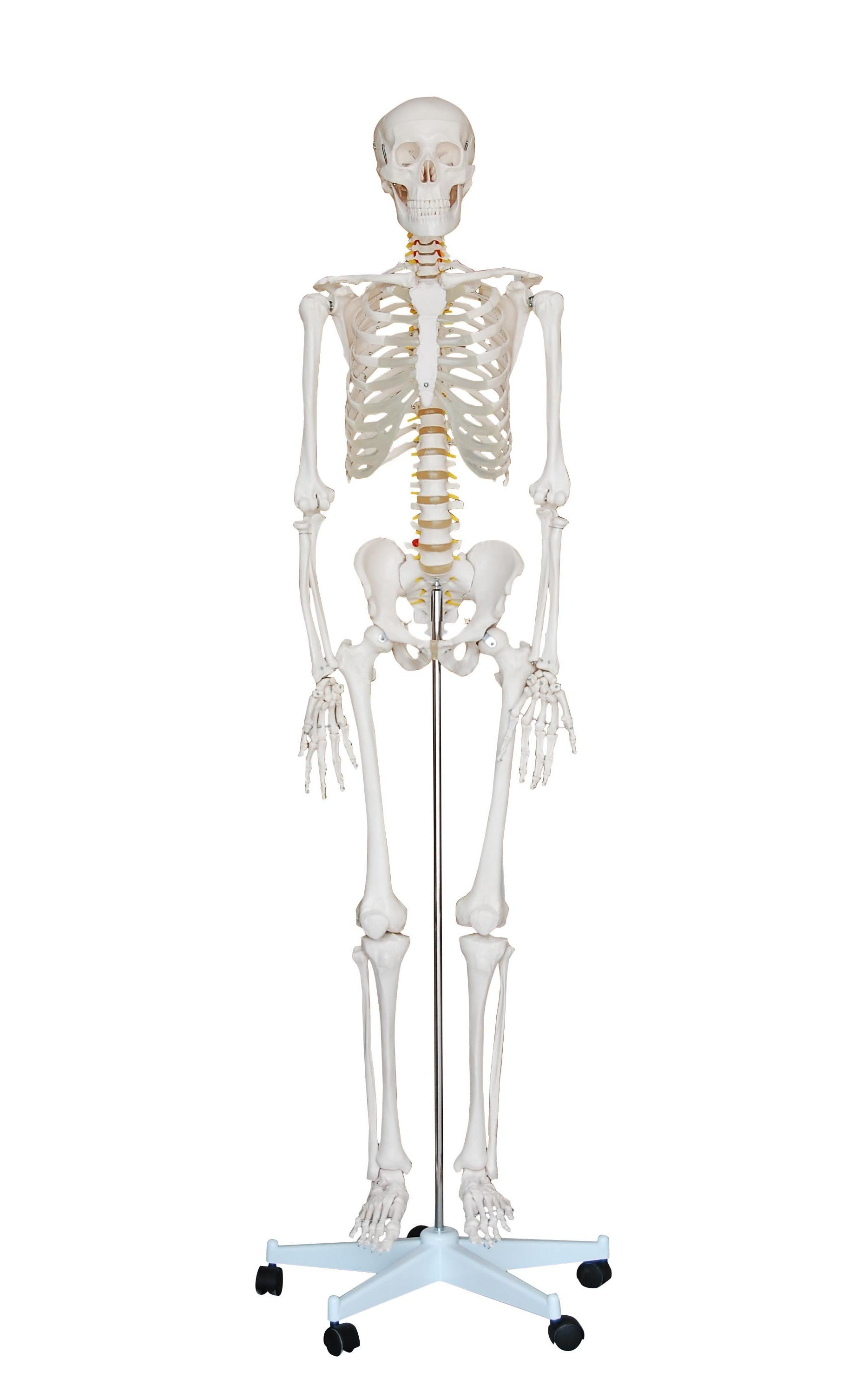 Advanced 180cm Tall Life-Size Human Anatomical Skeleton Model ...