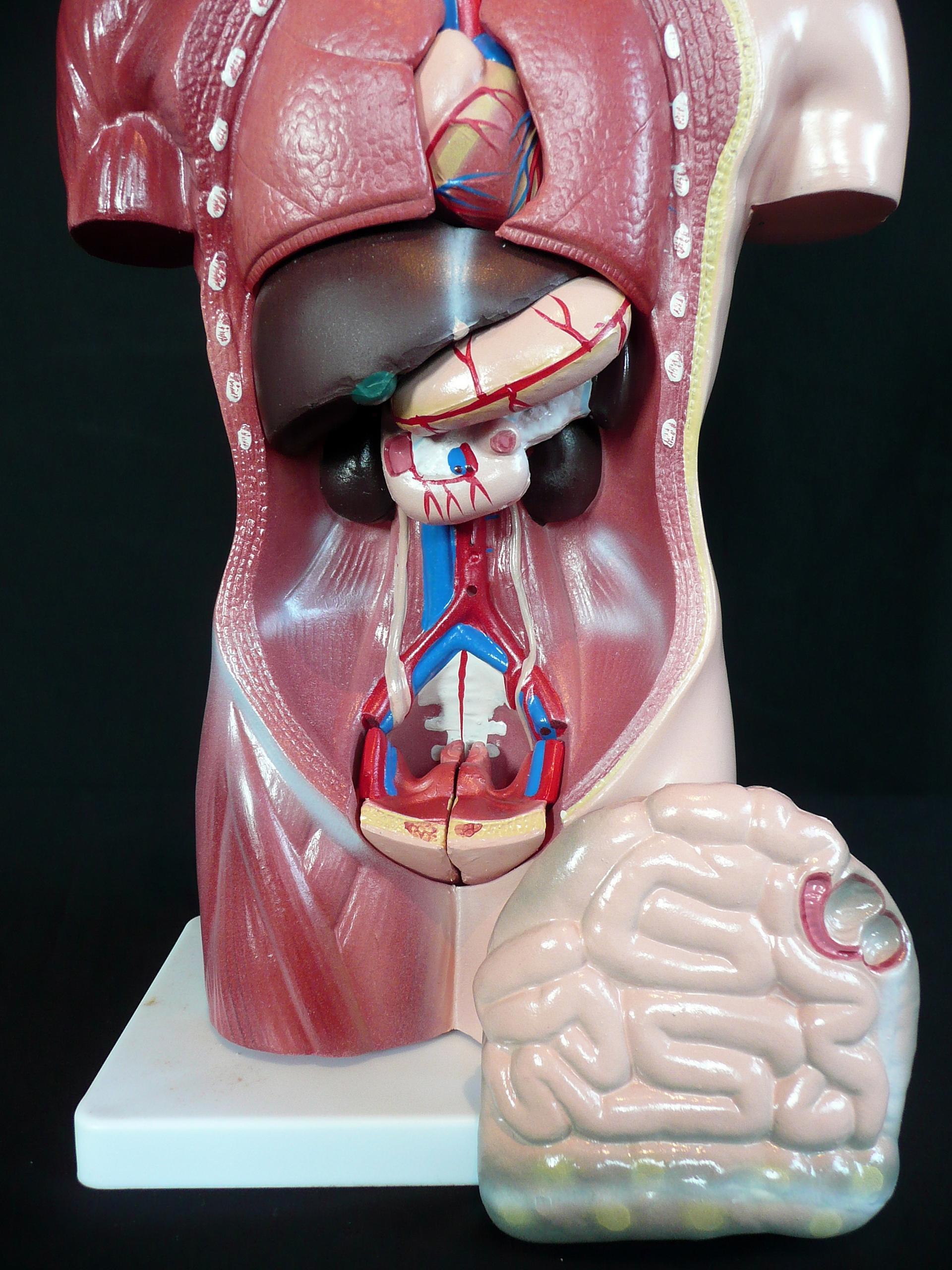 42cm tall human anatomical female torso model