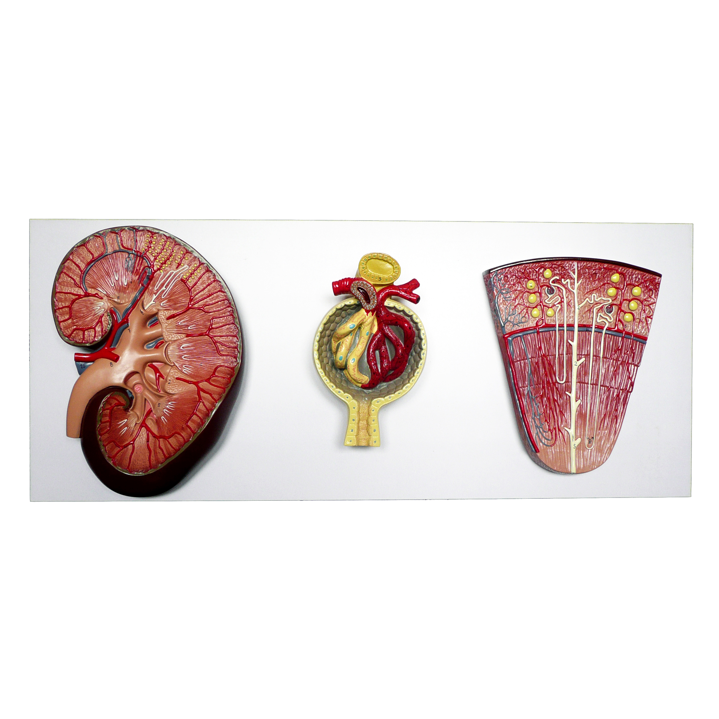 Anatomical Human Kidney, Nephron and Glomerulus Model | Organ, Skin ...