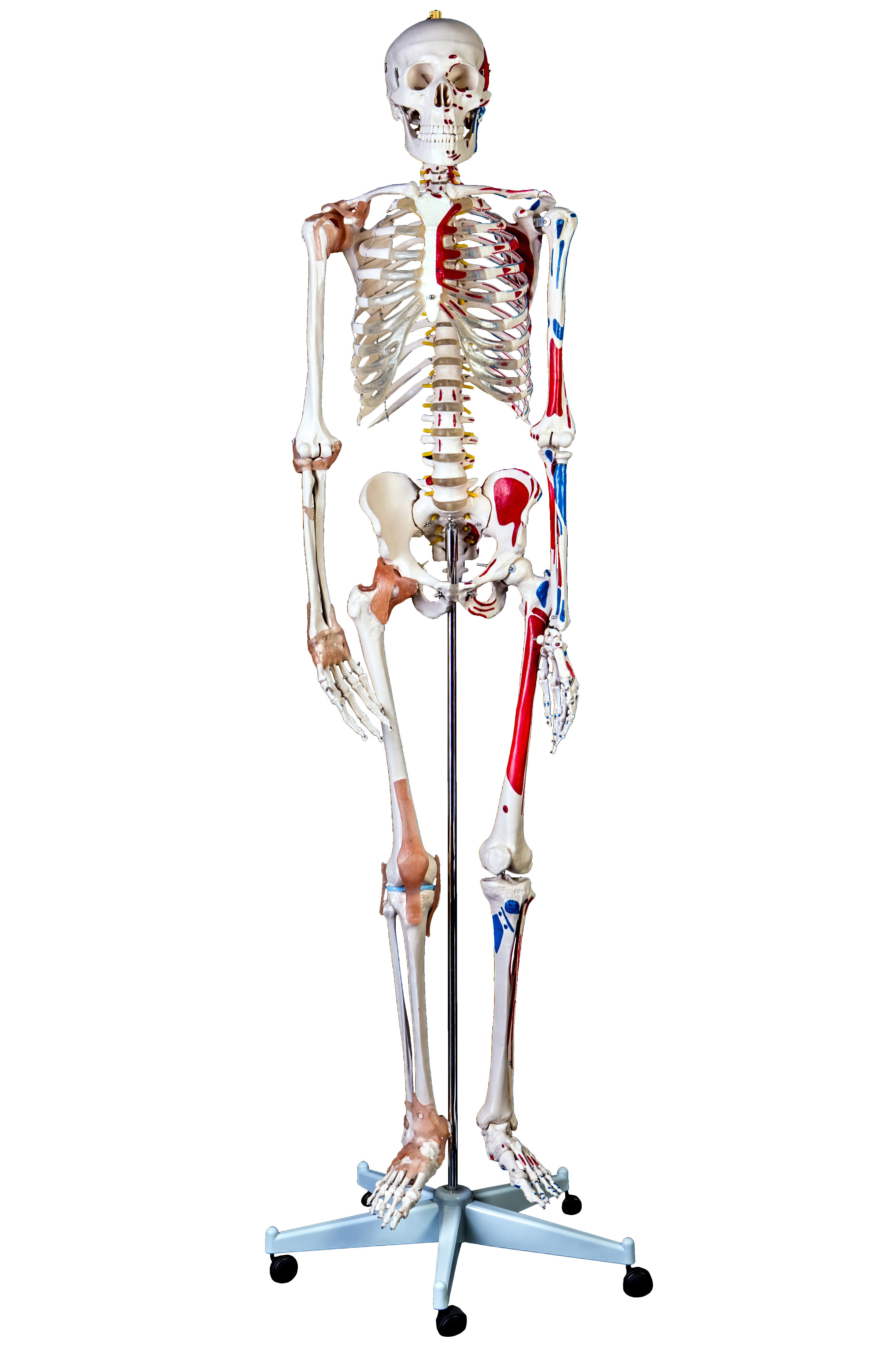 Advanced 180cm Tall Life-Size Human Anatomical Skeleton Model with ...