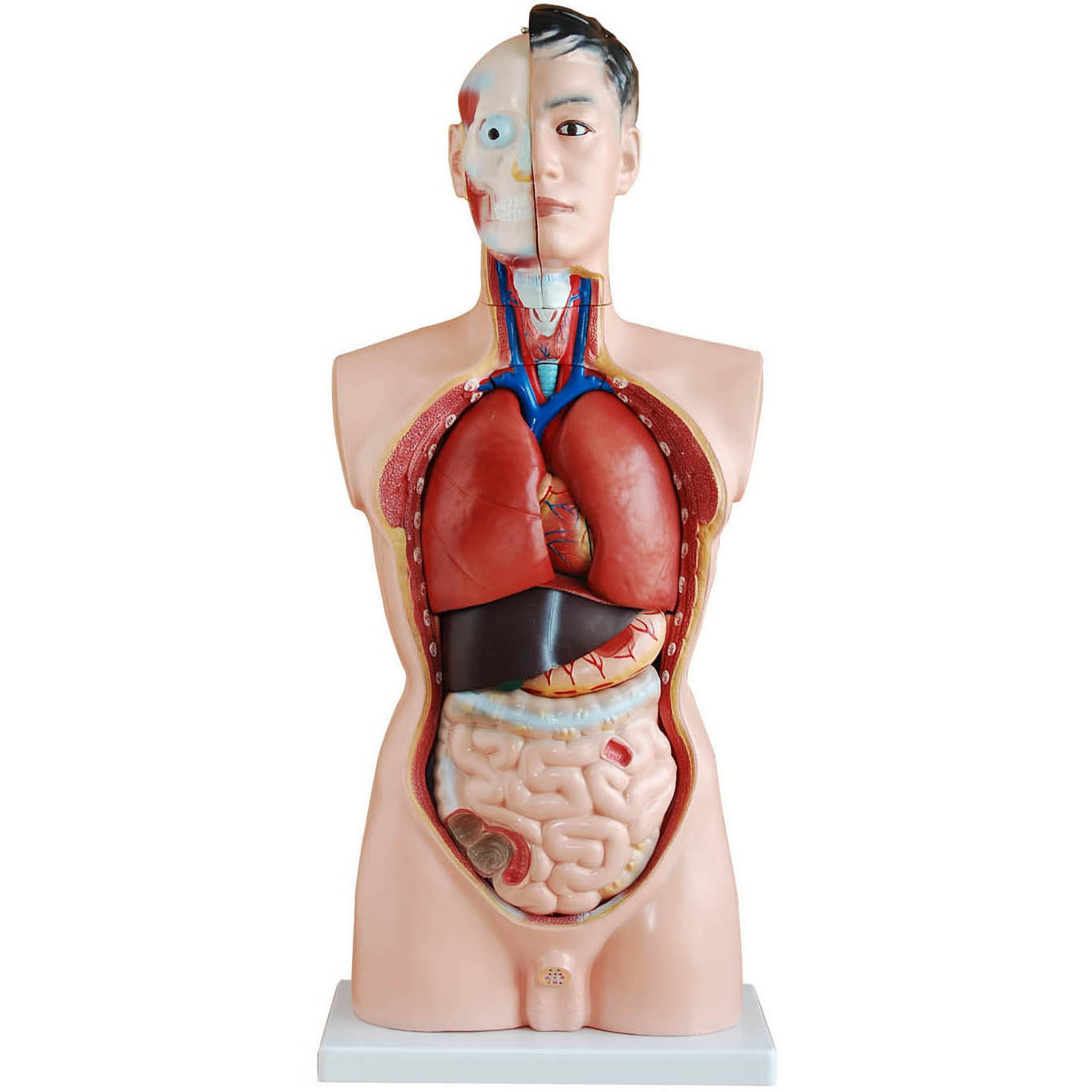 85cm Tall Human Anatomical Male Torso Model | Torso Models – Store ...
