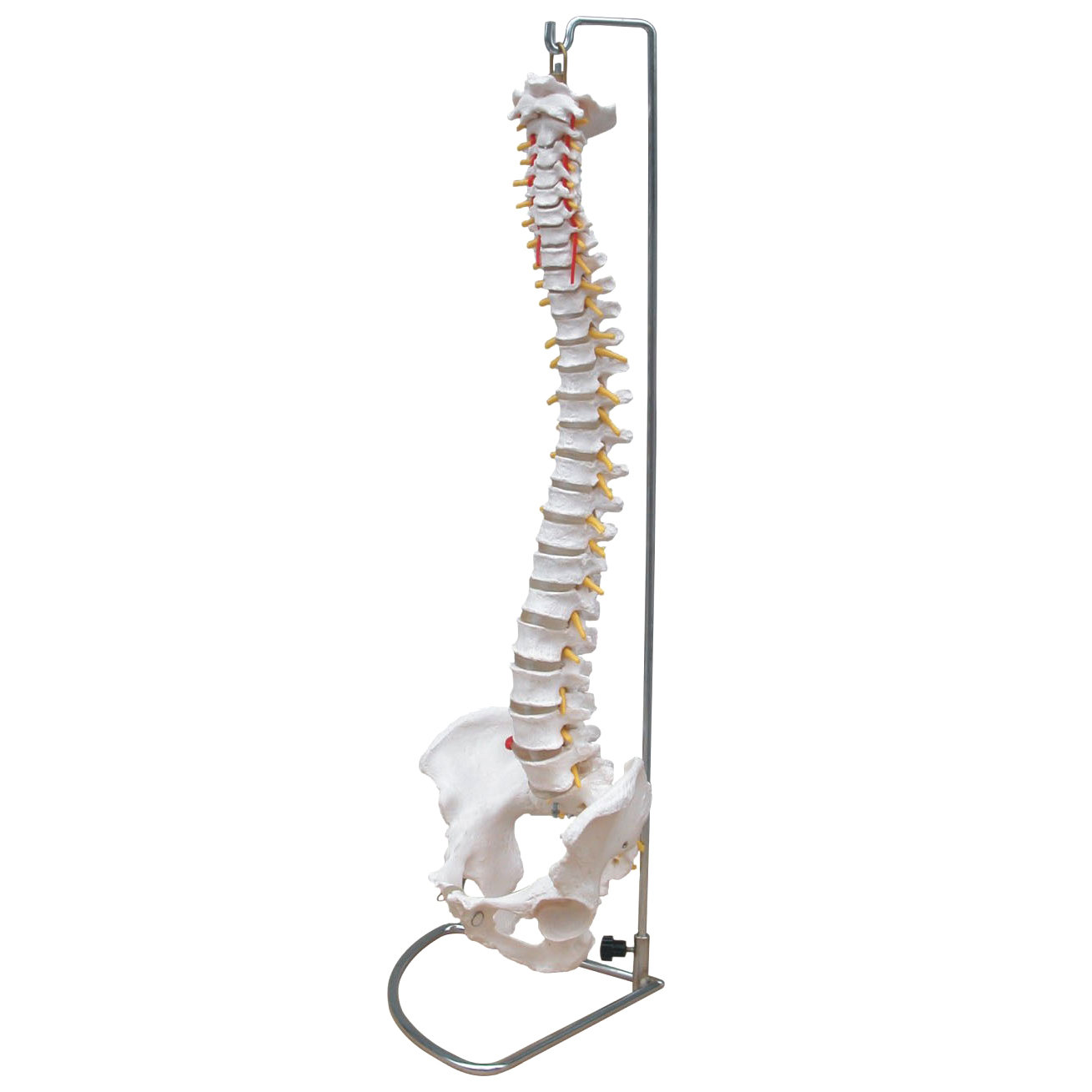 Life Size Anatomical Human Vertebral Column Spine With Pelvis Model