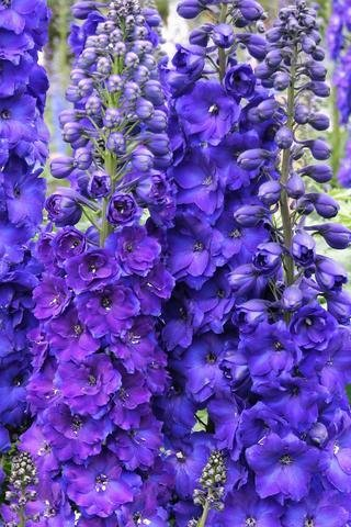 Дельфиниум Pagan Purples 00939