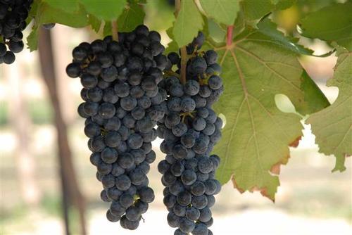 Black Spanish Grapevines 00089