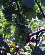 Favorite Grapevines 00090