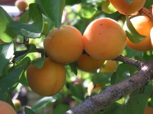 Wholesale Apricot Trees b005