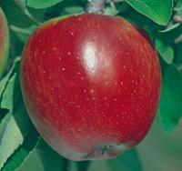 Wholesale Apple Trees b006