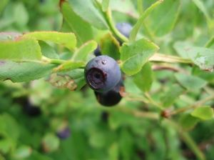 Brightwell blueberry plant