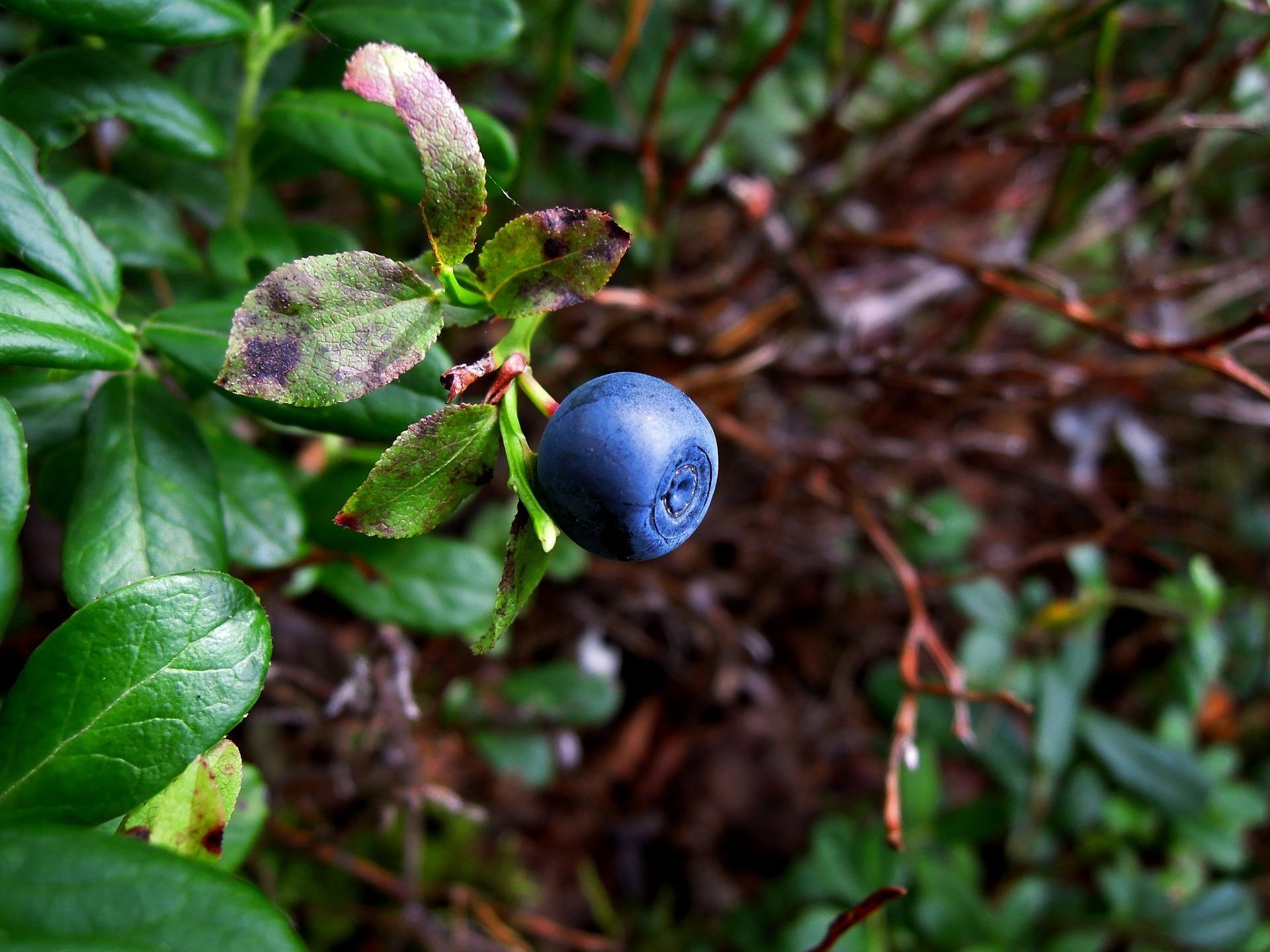 Premier Blueberry 00304