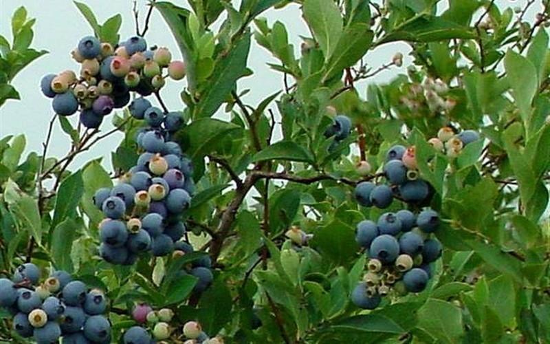 Ochlokonee blueberry plants 00324