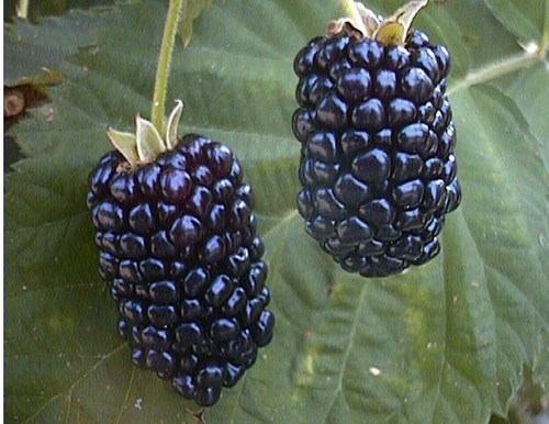 Natchez Blackberry 00122